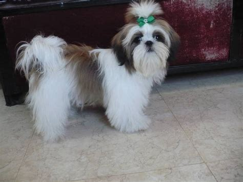 purebred shih tzu price well trained shih tzu for sale for sale adoption from pune maharashtra