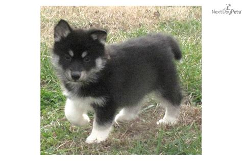 black husky puppies akc siberian husky puppy black grey breeds picture