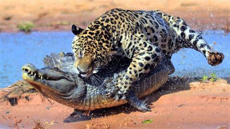 jaguar huntington animal attacks most spectacular animals