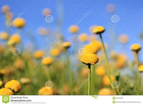 fiori africani fiori africani selvaggi palle gialle immagine stock
