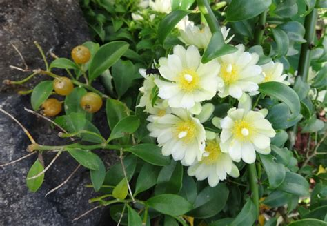 back door life ora pro nobis biyenan the barbados gooseberry