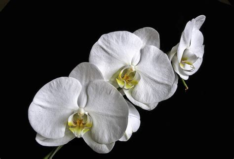 Orchid Trio moth orchid trio photograph by white