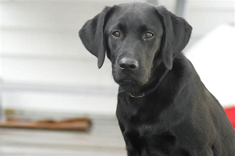 free black lab puppies free photo labrador retriever black lab free image on pixabay 862937