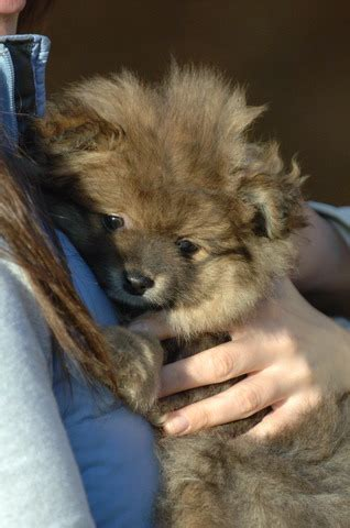 pomeranian puppies for sale adelaide one and two pomeranian puppies for adoption adelaide dogs for sale