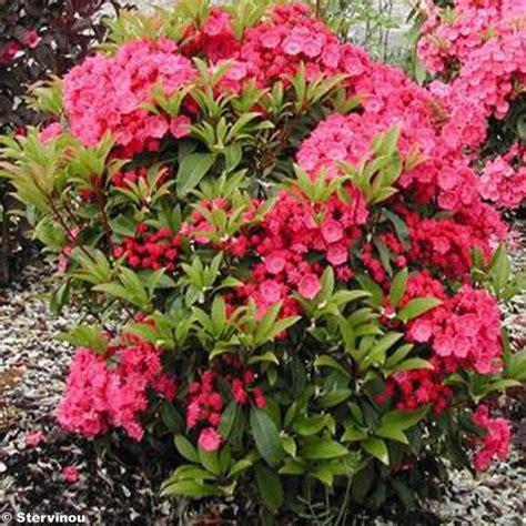 kalmia latifolia best 25 kalmia latifolia ideas on pinterest laurel