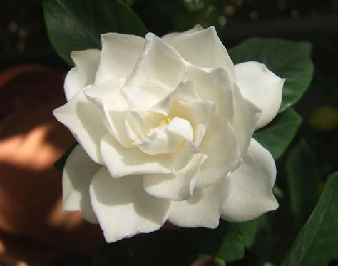 file white gardenia flower jpg
