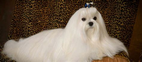 china doll near me maltese dogs for adoption near me puppy