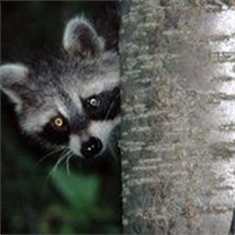 how to get rid of raccoons in my backyard 14 best images about get rid of a varmit on pinterest