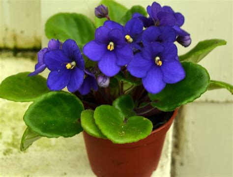 african violet nine tips to keep your african violet looking its best