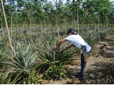 Bibit Nenas budidaya nanas desa cipelang kabupaten bogor budidaya