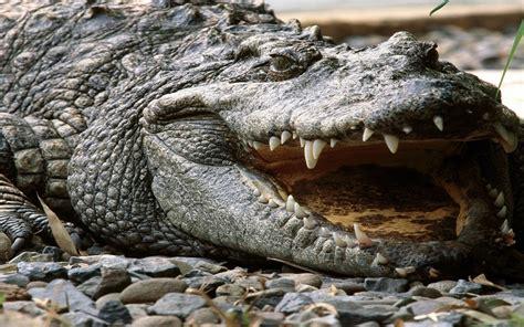 wallpaper krokodil crocodile wallpaper