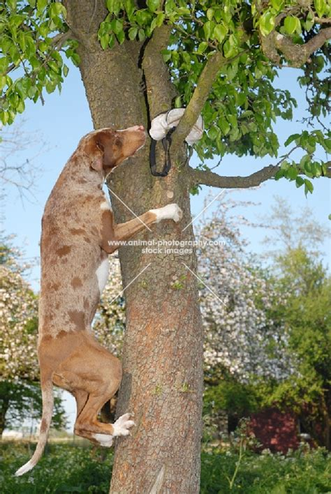 Doggie From Tree by 1000 Images About Catahoula Leopard On