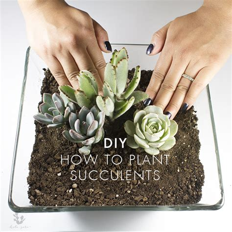 how to plant succulents hola sara