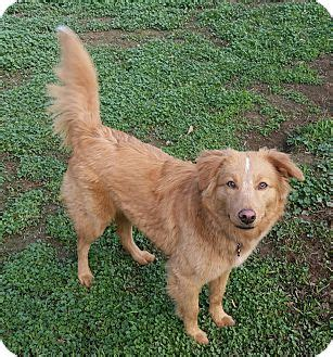 of the border golden retrievers adopted lafayette ca border collie golden retriever mix