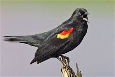 red winged blackbird facts habitat diet life cycle