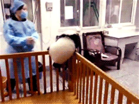 Baby Panda Climbing Out Of Crib by Crib Gifs Primo Gif Animated Gifs
