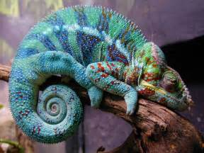 reptile that changes color colorful lizard beautiful