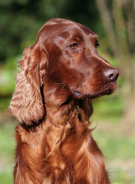 irish setter dog video irish red setter dog whisperer pinterest irish