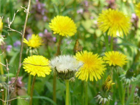 margherita fiore descrizione immagini natura prato dente di prateria