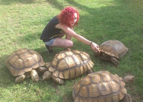 sulcata tortoise house 17 best images about sulcata on pinterest tortoise house cute tortoise and turtle