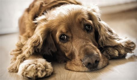 science of dogs 4 factors that cause anxiety in dogs according to research couture country