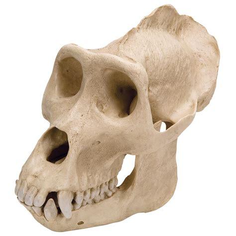 Gorilla Clone Dengan Embos 1 1 gorilla skull gorilla gorilla replica 1001301 vp762 1 primates 3b scientific