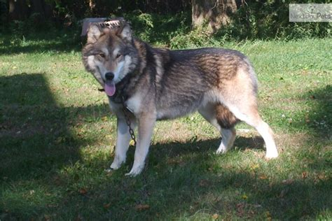 timber wolf puppies for sale wolf hybrid puppy for sale near omaha council bluffs nebraska 9632c67d 6f01