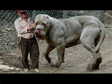 top 10 strongest dog   biggest guard dogs in the world