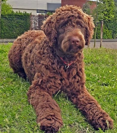 Types Of Dogs With Curly Hair by Flandoodle Breed Information And Pictures