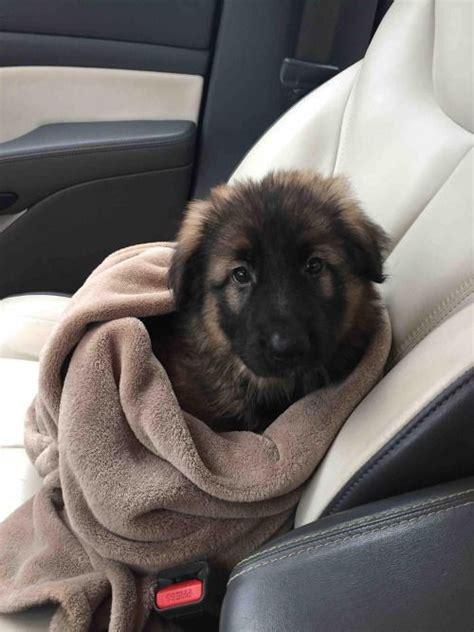 german shepherd rescue puppies 25 best german shepherd puppies ideas on baby