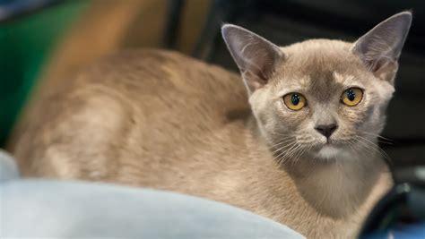 top 10 breeds top ten top cat breeds kittens wallpapers