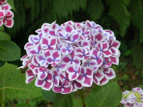 Hortensien Arten Und Sorten 3161 by Hortensiensorten Die Sch 246 Nsten Hortensien Arten Plantura