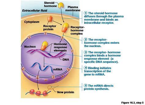 a protein that acts as a hormone is endocrine system at ridgefield high school studyblue