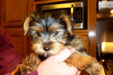 yorkies for sale in baton terrier yorkie for sale for 400 near baton louisiana 732d04b0 6b81