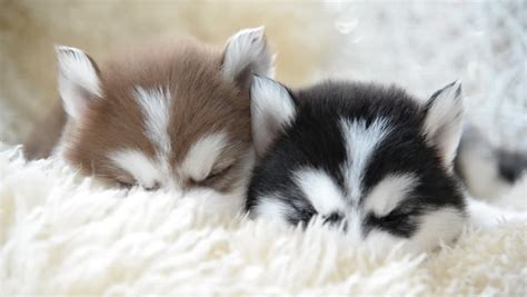 husky puppy sleeping husky puppy sleeping www imgkid the image kid has it