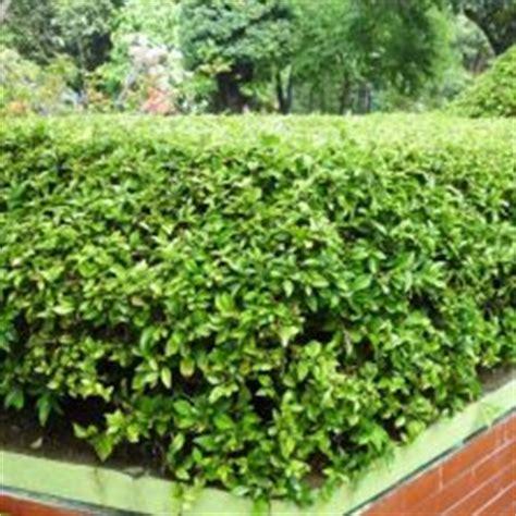 Tanaman Hias Ginseng Golden Kuning Variegata tanaman hias daun bibitbunga