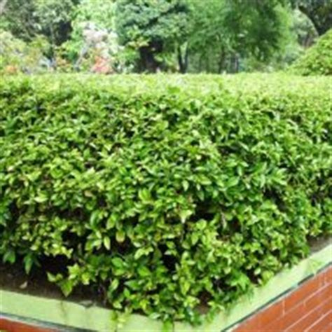 tanaman daun ruskus tanaman hias daun bibitbunga