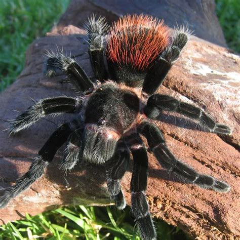 Tarantula B Vagans rozzer rozzer s tarantulas