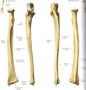 Radius by Bone Landmarks Upper Extremity Exercise Science 390 With