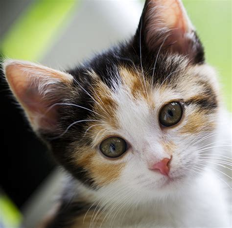 calico cat names 120 great ideas for naming your calico kitty