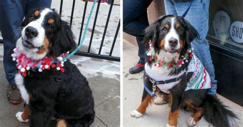 bernese mountain puppies colorado colorado celebration features 200 bernese mountain dogs