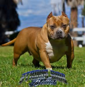 Pocket bully females american bully breeders american bully puppies