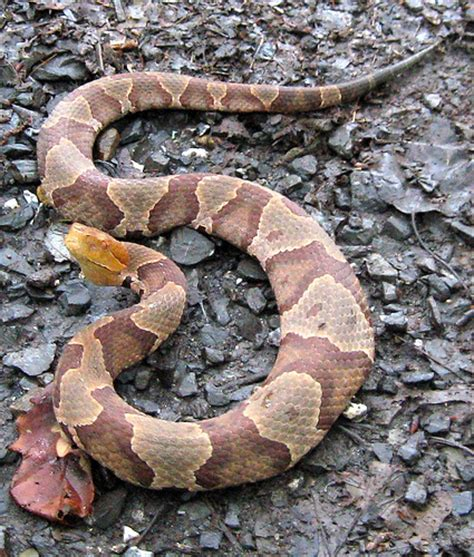 Garter Snake Vs Copperhead Northern Copperhead Snake In County West Virginia