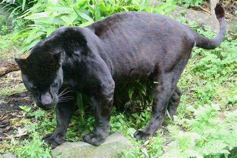 what color is a panther file black jaguar panthera onca jpg wikimedia commons