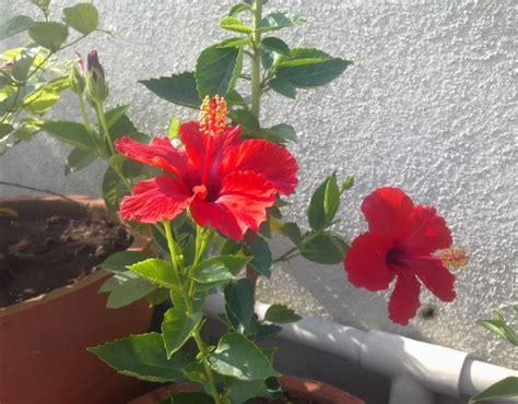 menanam kembang sepatu  pot bibitbungacom