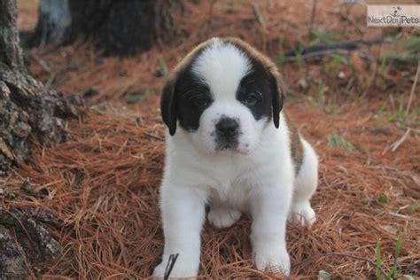 st bernard puppies michigan bernard st bernard puppy for sale near grand rapids michigan 38722a51 d681