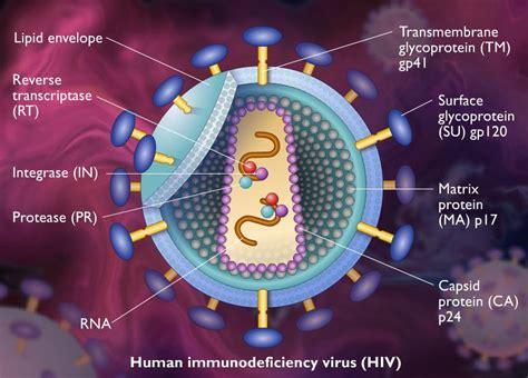 imagenes reales del virus del sida replicaci 243 n del virus del sida mcgraw hill didactalia