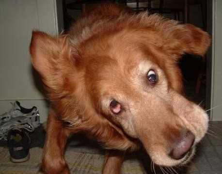 dumb golden retriever apparently golden retrievers might go extinct the something awful forums