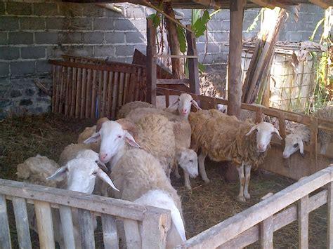 Bibit Kambing Untuk Penggemukan budidaya ternak kambing dan domba berbagai metode pakan kambing penggemukan kambing menjadi