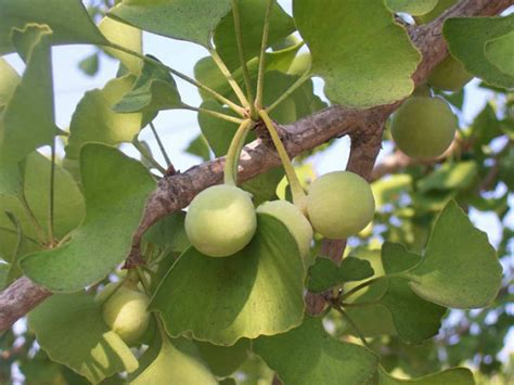fruit trees new york ginkgo biloba